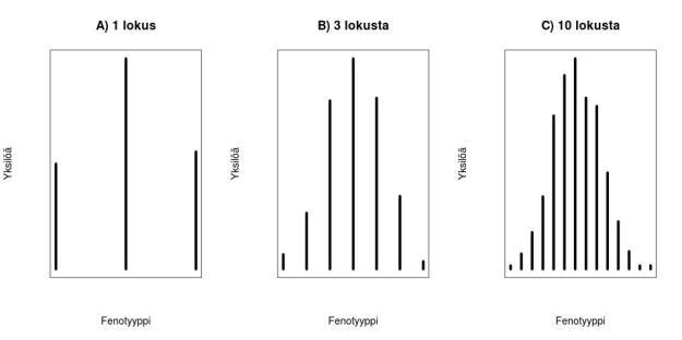 Lokusten lukumäärän vaikutus fenotyypin jakaumaan